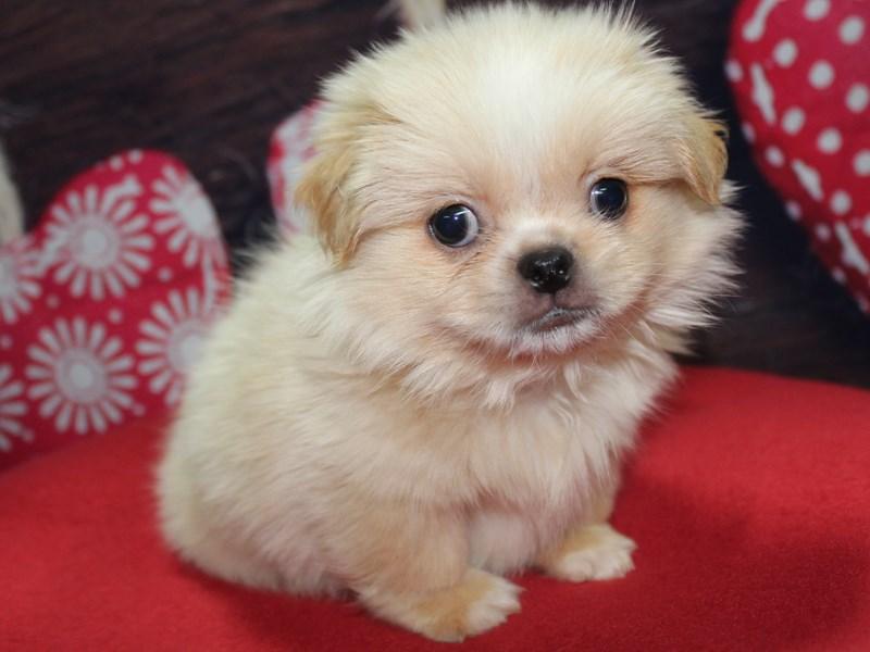 Pekingese-Male-Cream-2612410-Pet City Houston