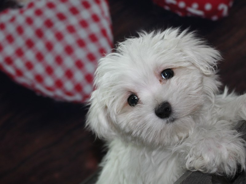 Maltese-Male-WHITE-2619639-Pet City Houston