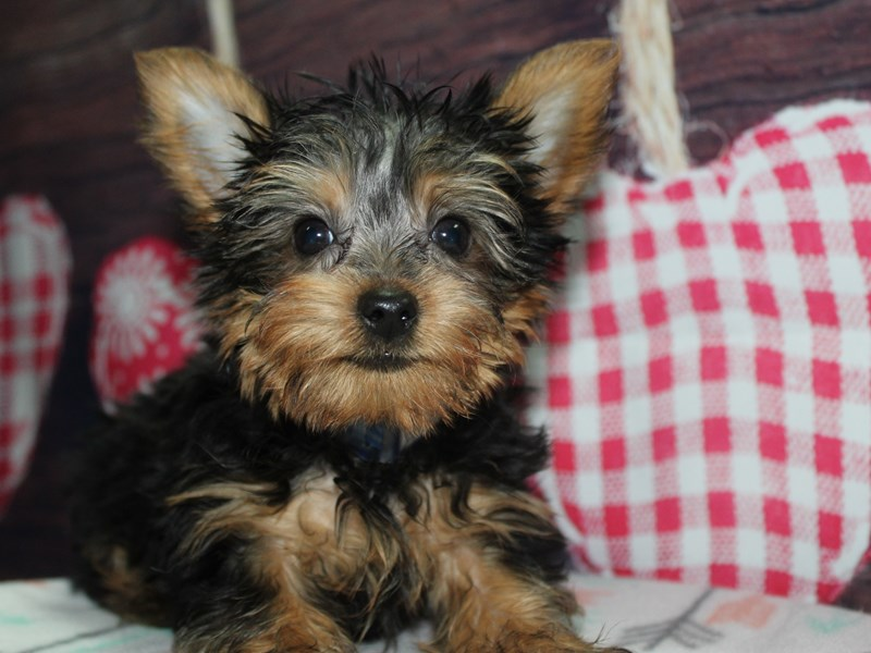Yorkshire Terrier-Male-BLK/TAN-2619664-Pet City Houston