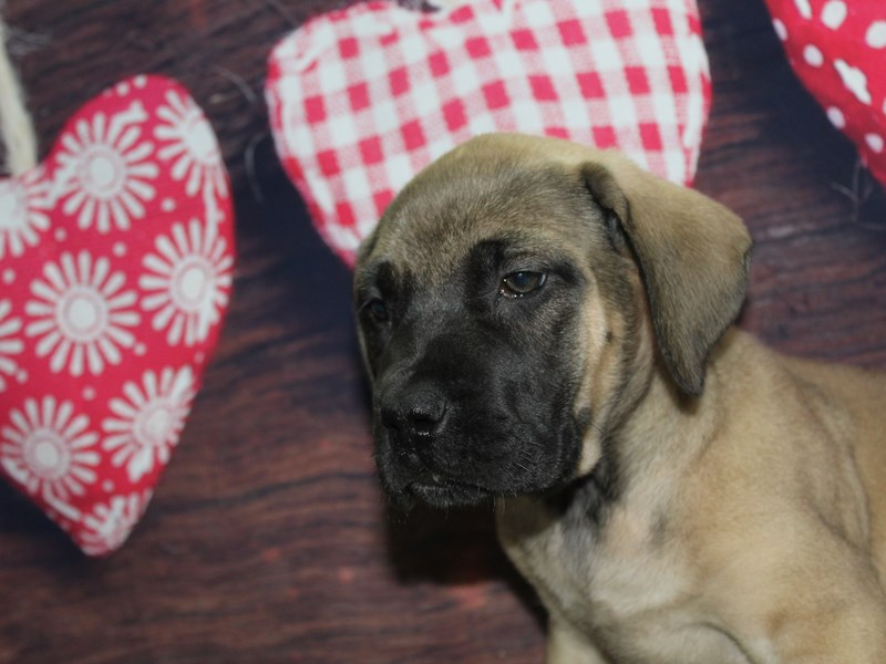 Bull Mastiff-Female-FAWN-2619564-Pet City Houston