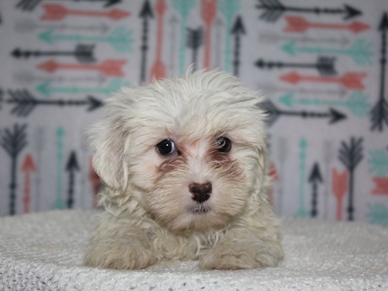 Havanese-Female-WHITE-2626993-Pet City Houston