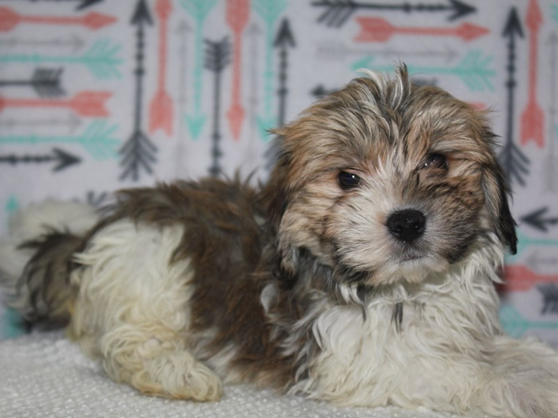 Havanese-Male-TAN / WHITE-2626964-Pet City Houston