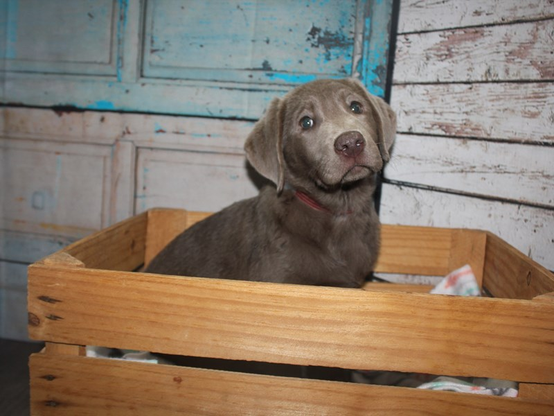 Labrador Retriever-Female-Silver-2635373-Pet City Houston