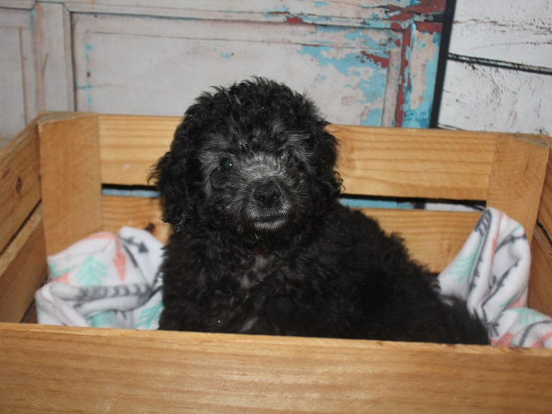 Mini Goldendoodle-Female-Black-2635418-Pet City Houston