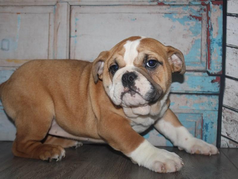 English Bulldog-Female-Red/White-2641980-Pet City Houston