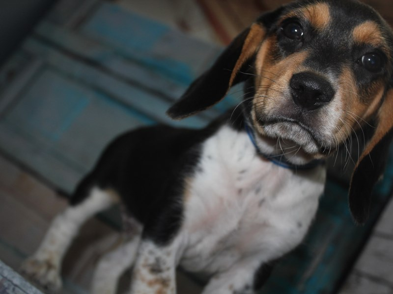 Beagle-Male-TRI-2641598-Pet City Houston