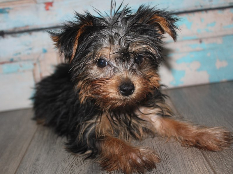 Yorkshire Terrier-Female-BLK TAN-2642196-Pet City Houston