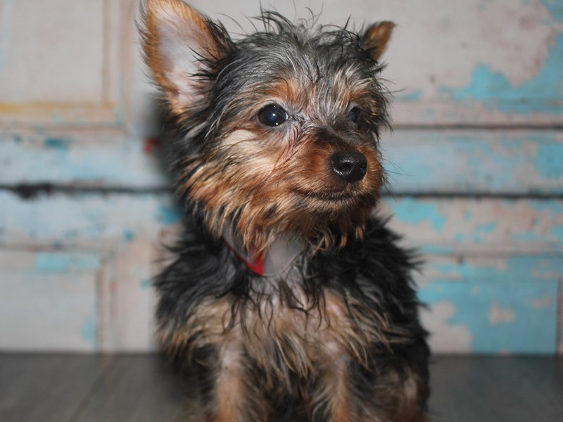 Yorkshire Terrier-Female-BLK TAN-2642234-Pet City Houston