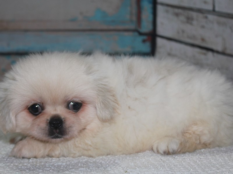 Pekingese-Male-Cream-2641568-Pet City Houston