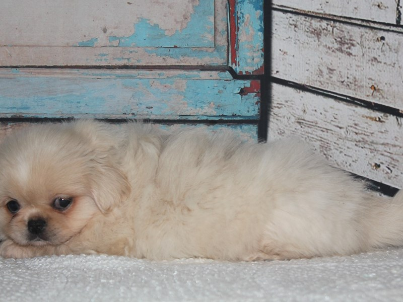 Pekingese-Female-Cream-2641575-Pet City Houston