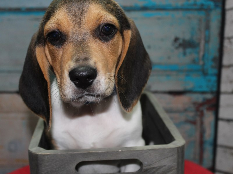 Beagle-Male-TRI-2641595-Pet City Houston