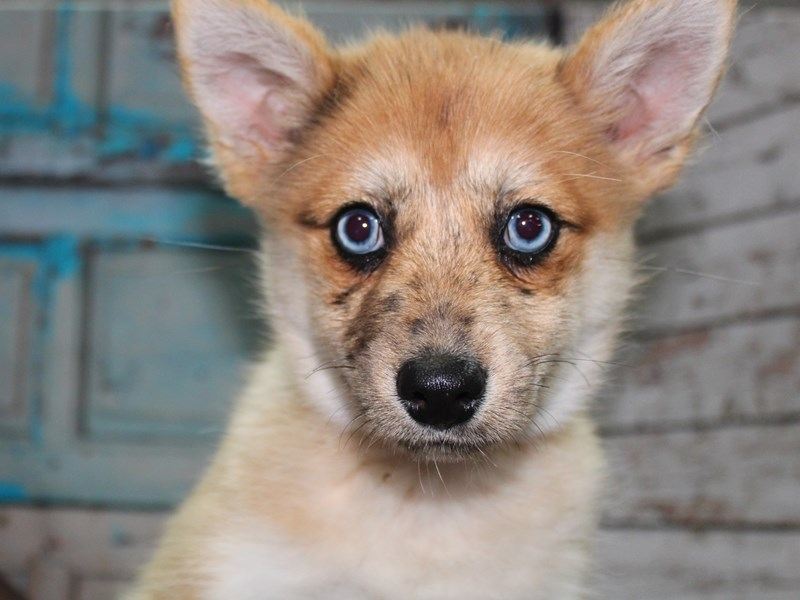 Pomsky-Female-Red-2650108-Pet City Houston
