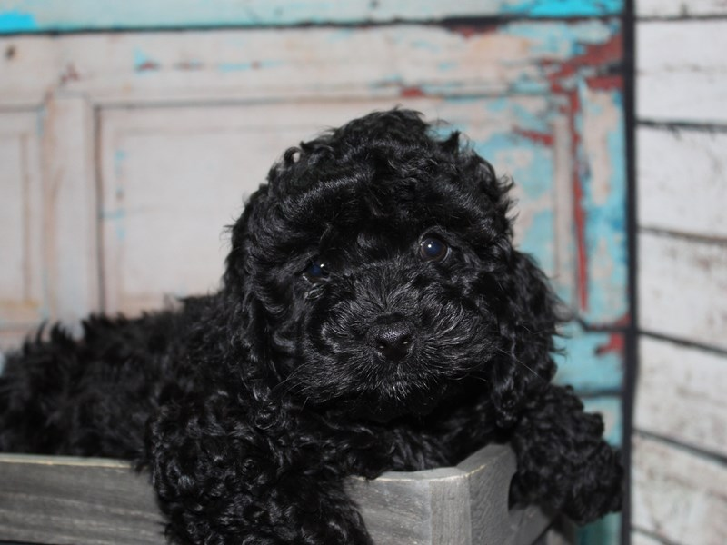 Cockapoo-Female-BLK-2649231-Pet City Houston