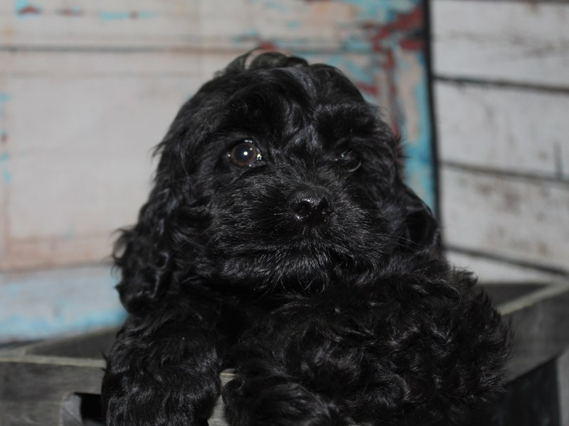 Cockapoo-Male-BLK-2649230-Pet City Houston