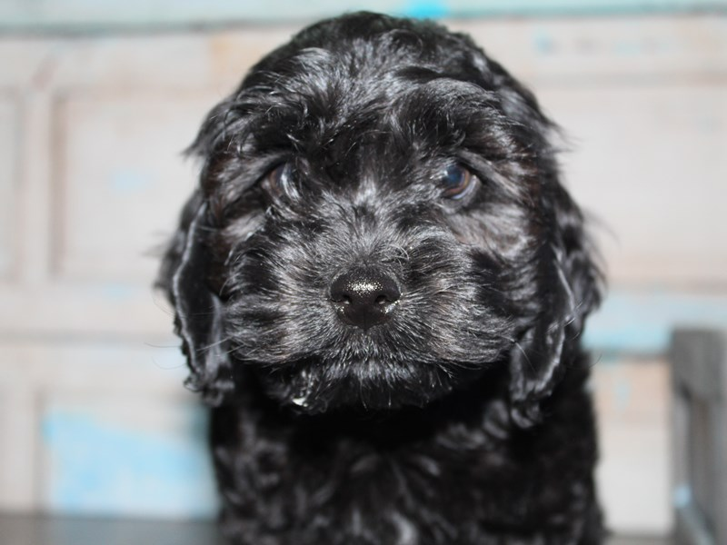 Cockapoo-Male-BLK-2649211-Pet City Houston