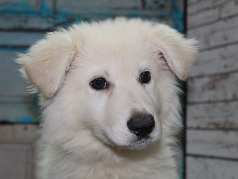 German Shepherd-Female-White-2641889-Pet City Houston