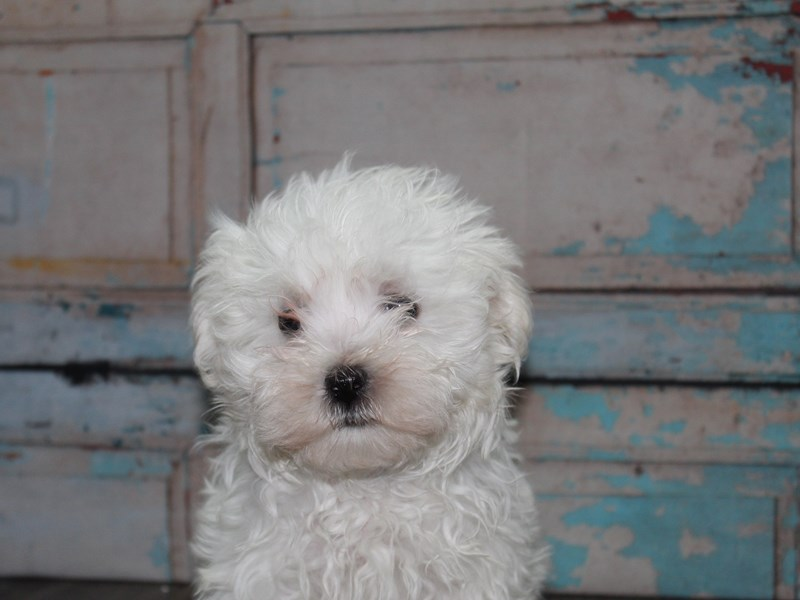 Maltese-Male-White-2641843-Pet City Houston