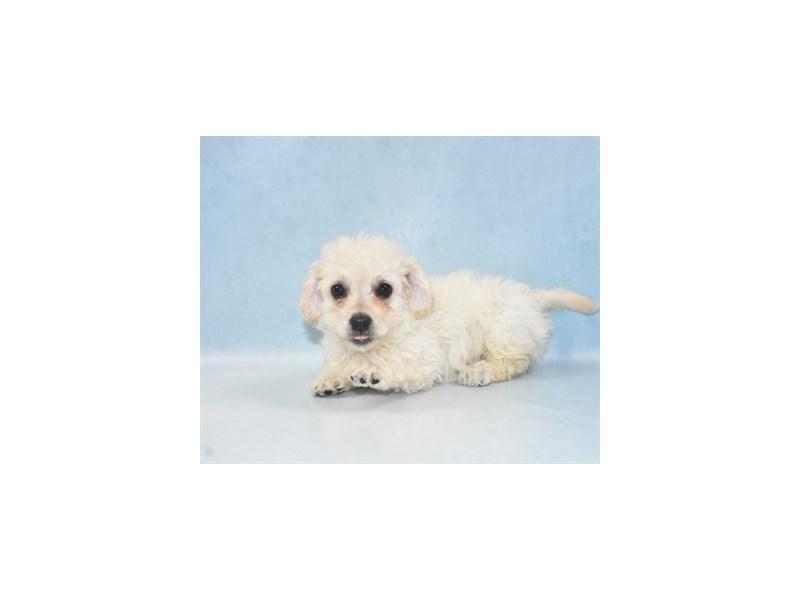 Bichon Frise-Male-White-2655396-Pet City Houston