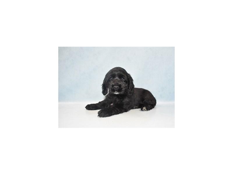 Cocker Spaniel-Female-Black-2655398-Pet City Houston