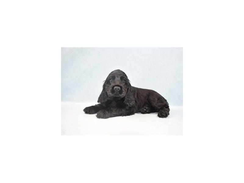 Cocker Spaniel-Male-Black-2655399-Pet City Houston