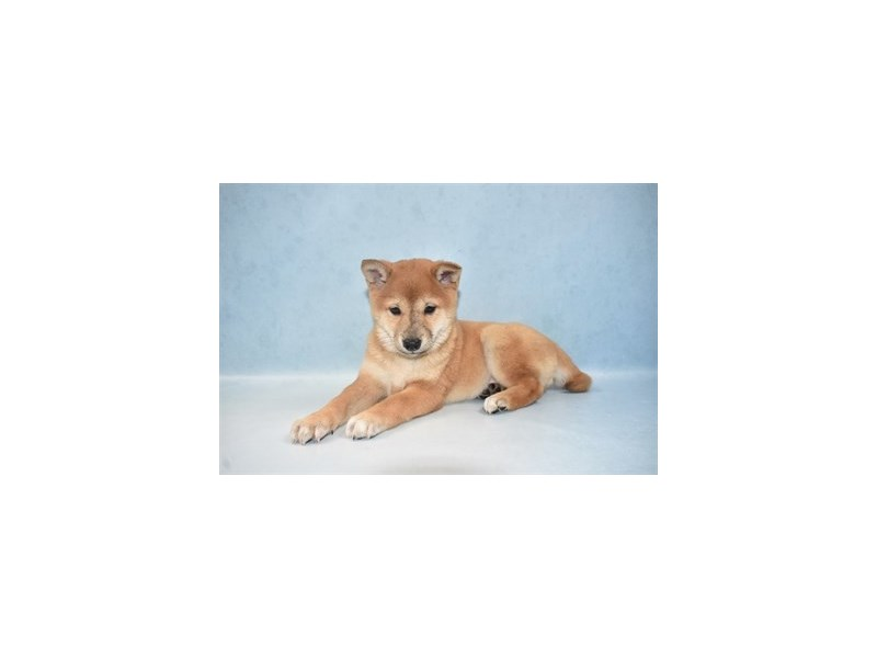 Shiba Inu-Female-Red-2655505-Pet City Houston