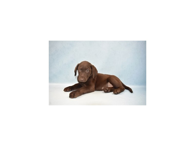 Labrador Retriever-Female-Chocolate-2655579-Pet City Houston