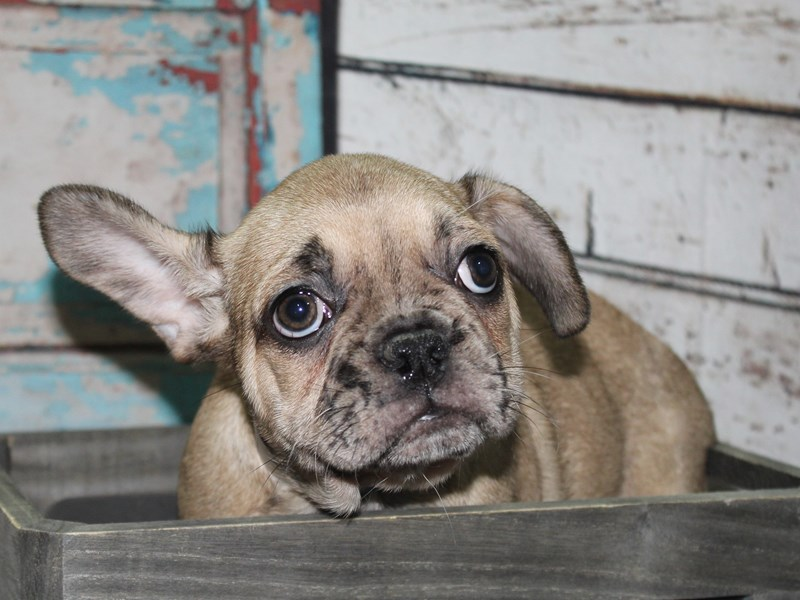 French Bulldog-Male-Fawn Merle-2657101-Pet City Houston