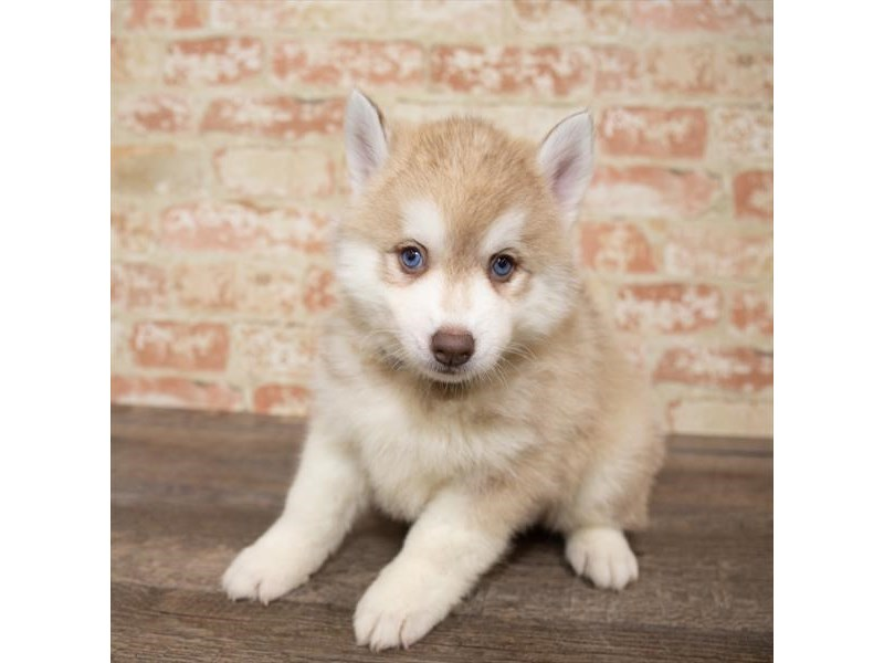 Pomsky-Female-Red / White-2661641-Pet City Houston