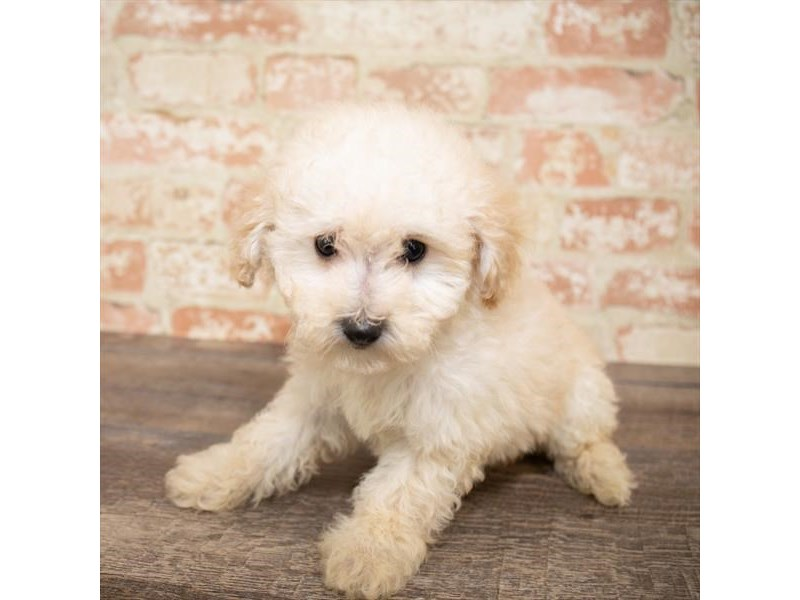 Poodle-Female-Cream-2661642-Pet City Houston