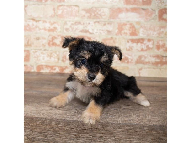 Yorkiepoo-Male-Black / Tan-2661644-Pet City Houston