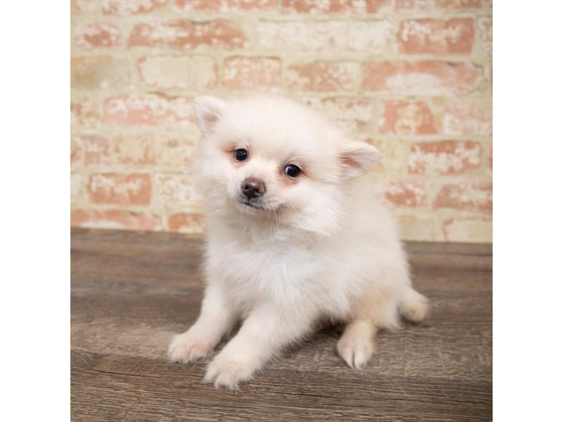 Pomeranian-Male-Cream-2661653-Pet City Houston