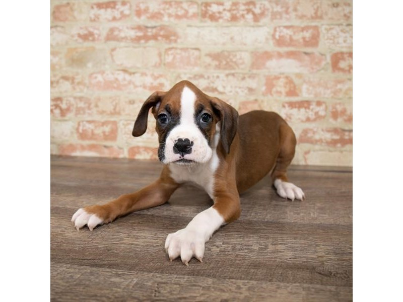 Boxer-Female-Fawn-2661659-Pet City Houston