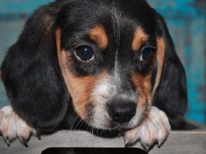 Beagle-Female-TRI-2662616-Pet City Houston