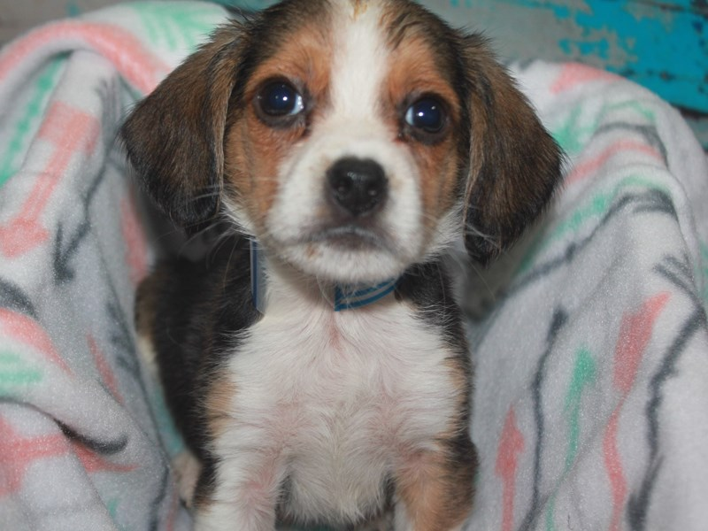 Beagle-Male-TRI-2662626-Pet City Houston