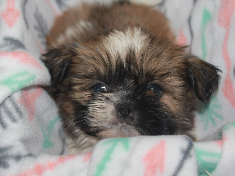 Shih Tzu-Female-TRI-2663078-Pet City Houston