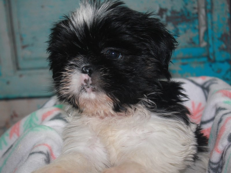 Shih Tzu-Male-BLK/WHITE-2663081-Pet City Houston