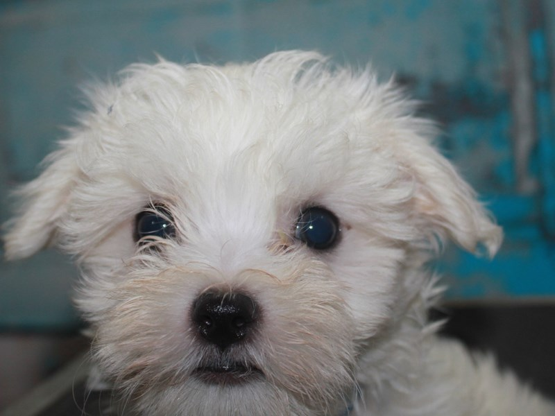 Maltese-Male-White-2662570-Pet City Houston