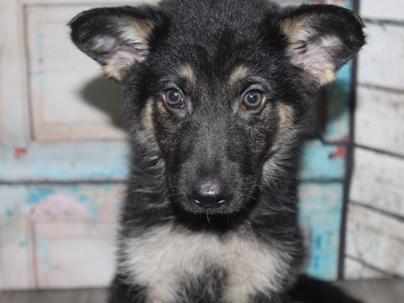 German Shepherd-Male-BLK / TAN-2662613-Pet City Houston