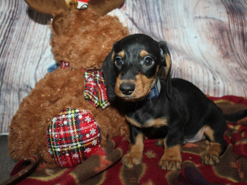 Miniature Dachshund-Male-BLK / TAN-2564265-Pet City Houston