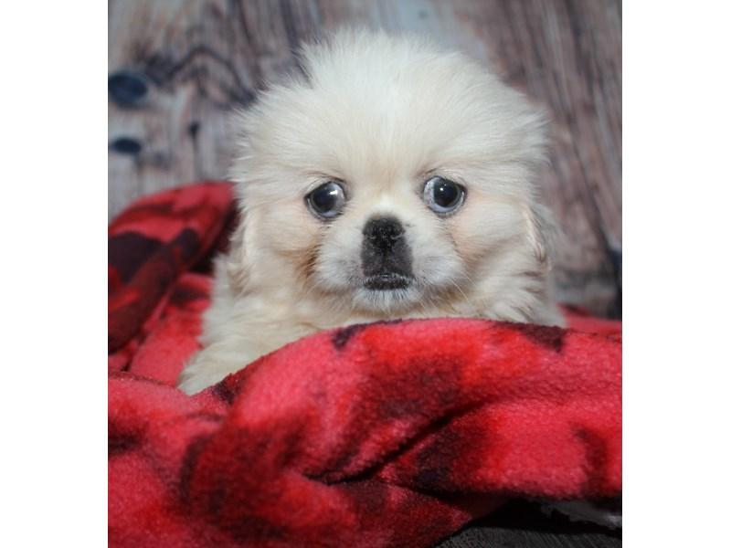 Pekingese-Female-Cream-2582246-Pet City Houston