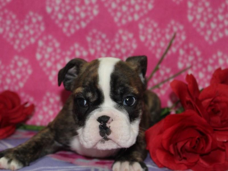 English Bulldog-Male-Brindle / White-2582154-Pet City Houston