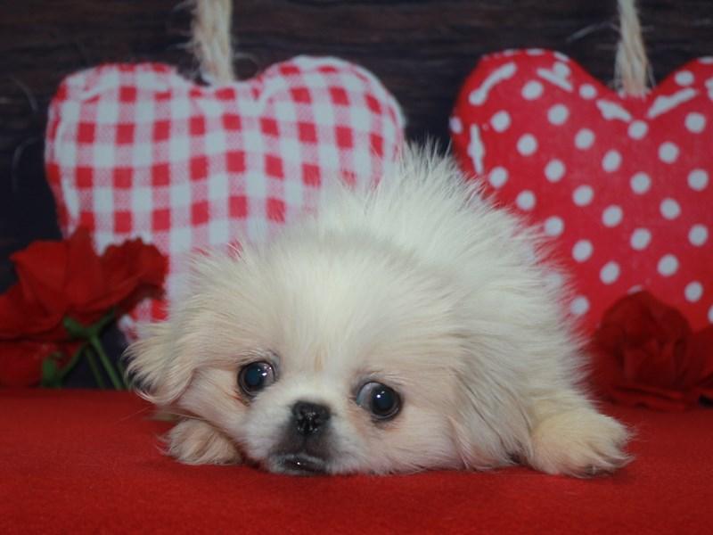 Pekingese-Female-Cream-2600262-Pet City Houston