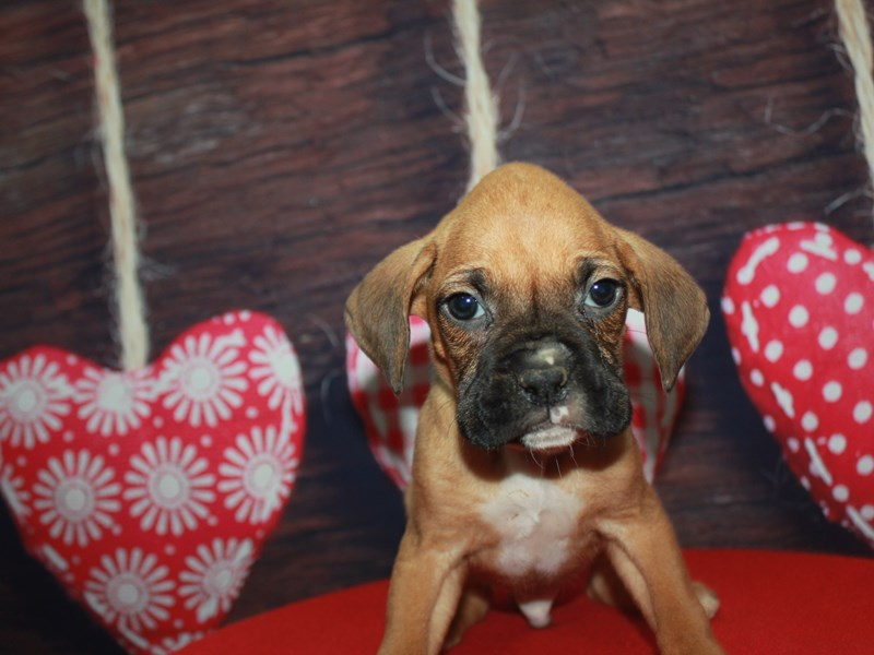 Boxer-Male-FAWN / WHITE-2612749-Pet City Houston