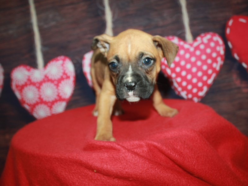Boxer-Male-Fawn-2612737-Pet City Houston