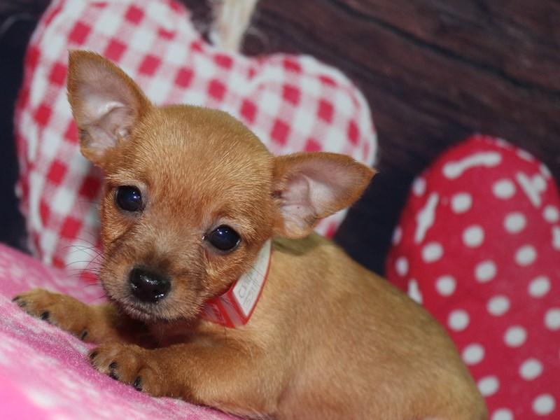 Chorkie-Female-Fawn-2619706-Pet City Houston