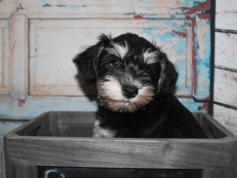 Miniature Schnauzer-Male-black/sliver-2634983-Pet City Houston