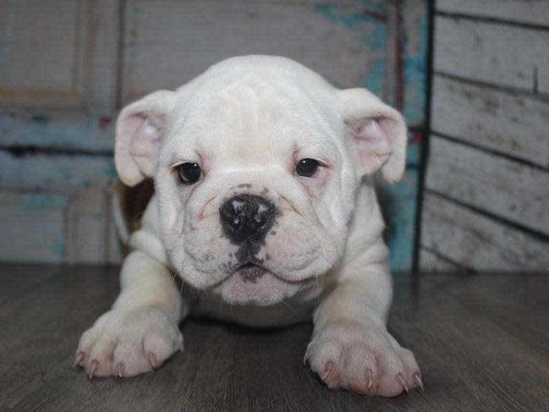 English Bulldog-Female-Fawn/White-2641993-Pet City Houston