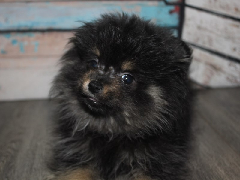 Pomeranian-Male-Blk Slvr-2642135-Pet City Houston