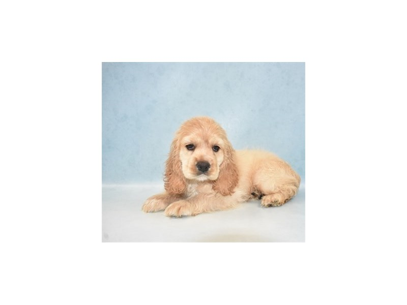 Cocker Spaniel-Male-Buff-2655338-Pet City Houston