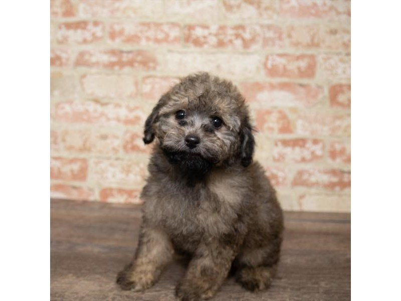 Poodle-Male-Sable-2661643-Pet City Houston